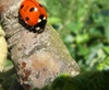 Vign_coccinelle_7_points_web